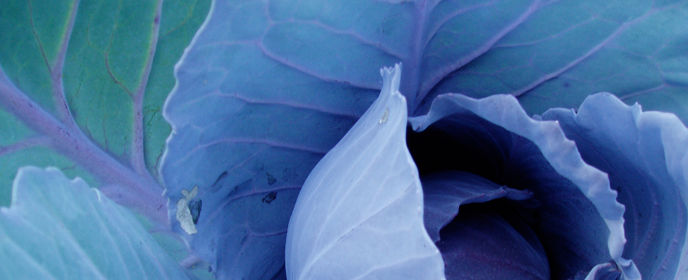 Matia's Cabbage